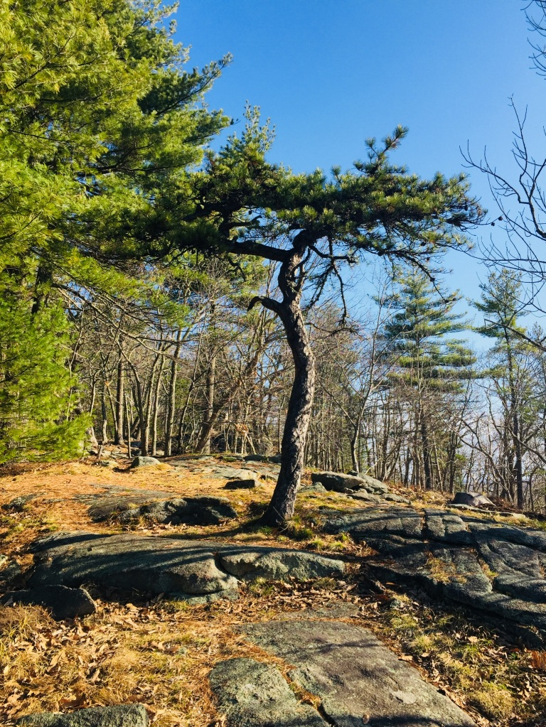 Tree on Second Hill, Mount Agamenticus
