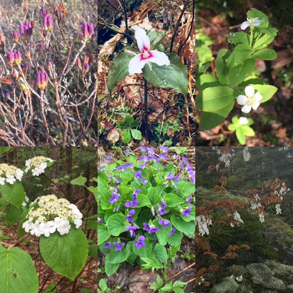 Spring wildflowers, Rumford Whitecap, Rumford, Maine