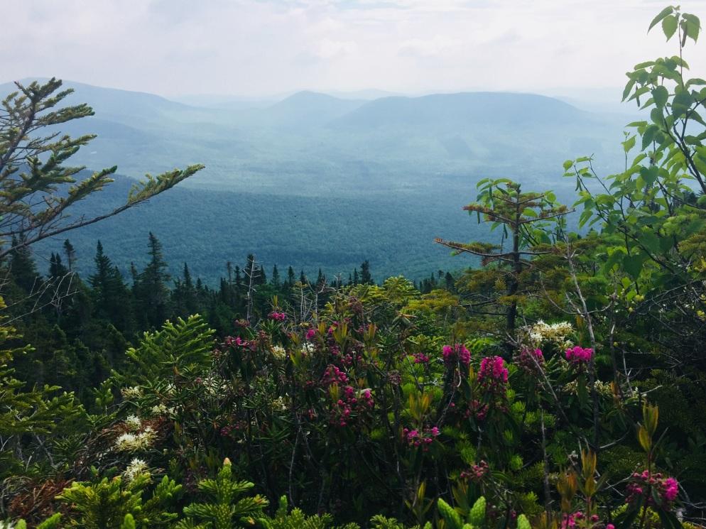 Flowers in the alpine zone, Mount Abram, Kingfield, ME